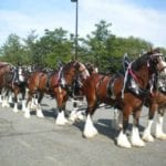 The Budweiser Clydesdales are coming to The Avenue this month