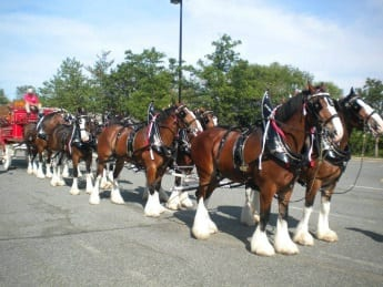 Clydesdales Visit The Avenue